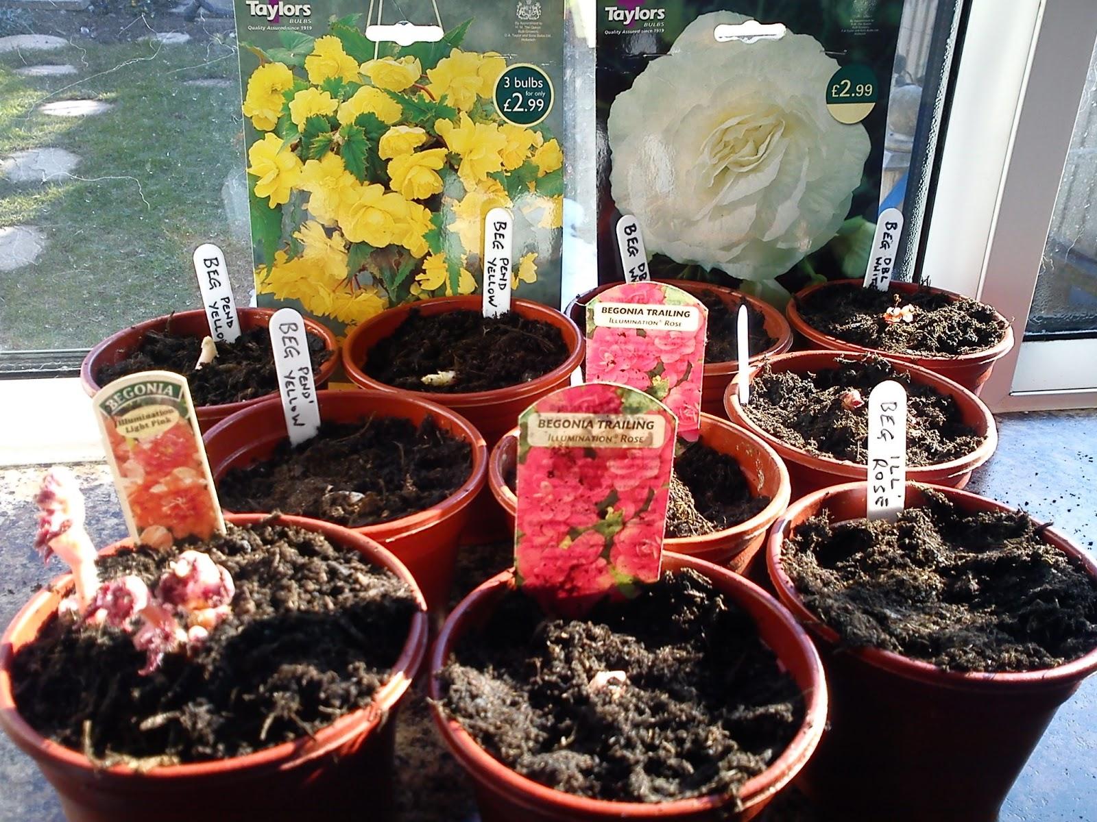 planting tuberous begonias in pots gardener s word