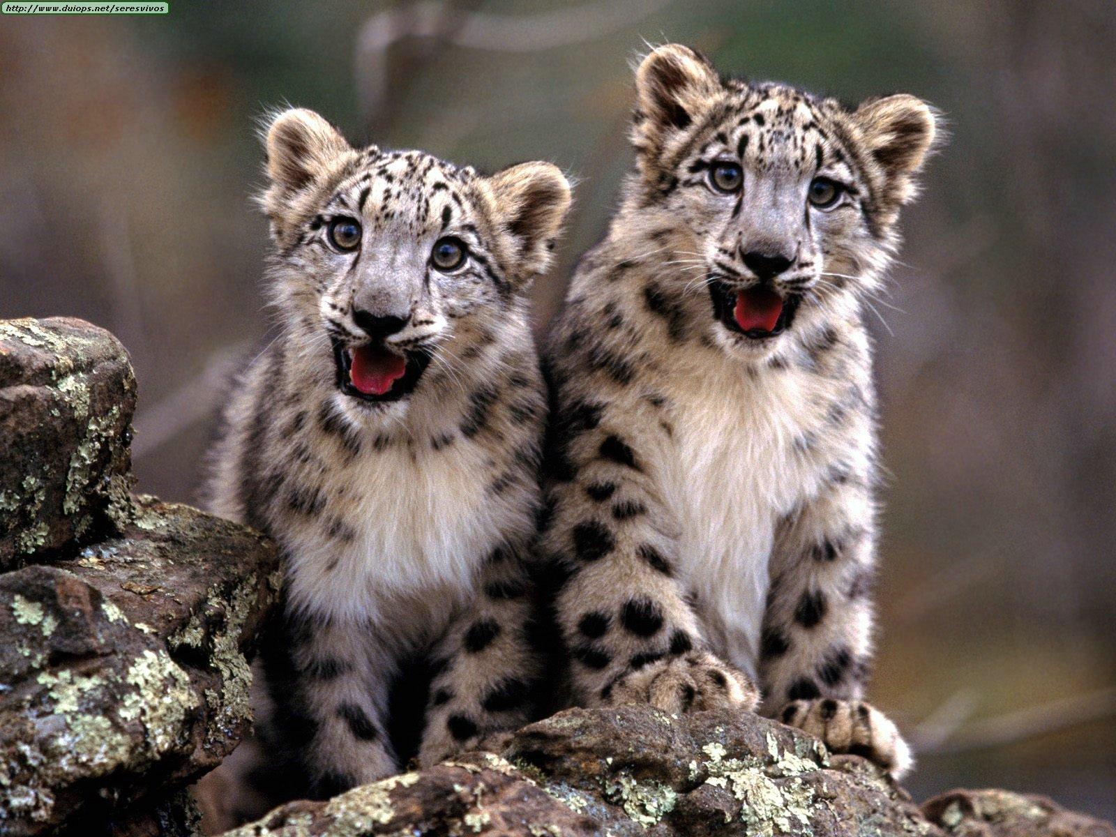 http://1.bp.blogspot.com/-rn5old1mfy4/TixFbfjf4tI/AAAAAAAAAGI/Zb89qmLYKCg/s1600/Leopard+Wallpepers+5.jpg