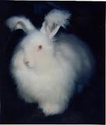 The Angora Rabbit