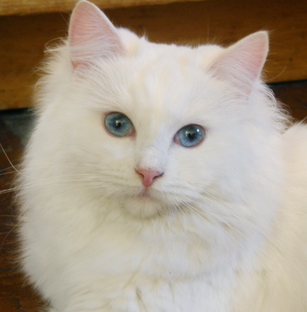 Are white Cats deaf?