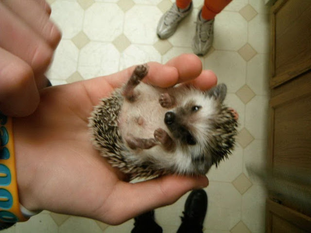 hedgehog in palm, funny animal pictures, animal pics