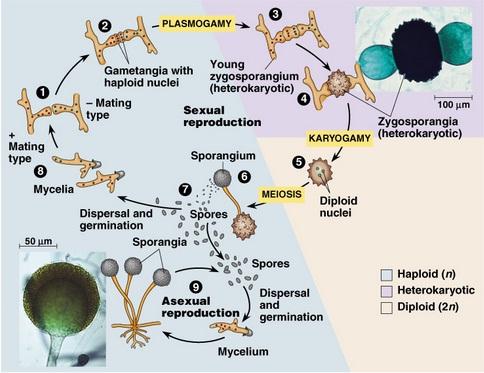 reproduksi zigomycota
