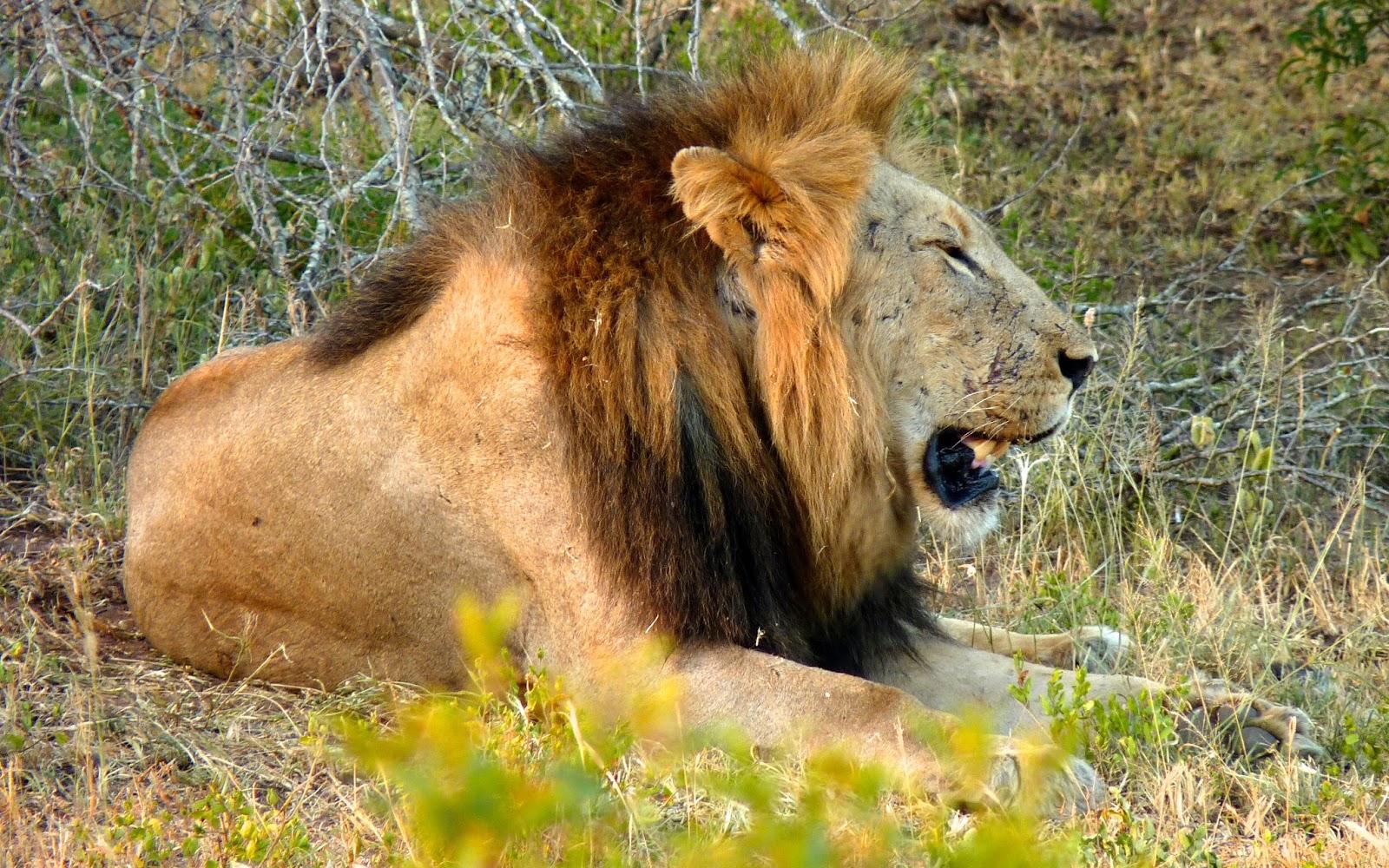 Lion sitting - photo#17