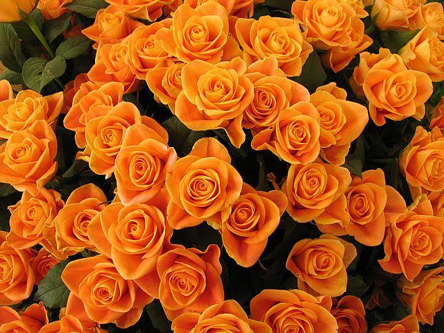 Flowers For Flower Lovers Orange Rose Wallpapers