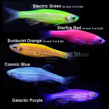 Glow Fish: Si Cantik yang Cinta Lingkungan | bioLOCUS