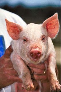 Parasit Penyebab Penyakit Dalam Tubuh Babi