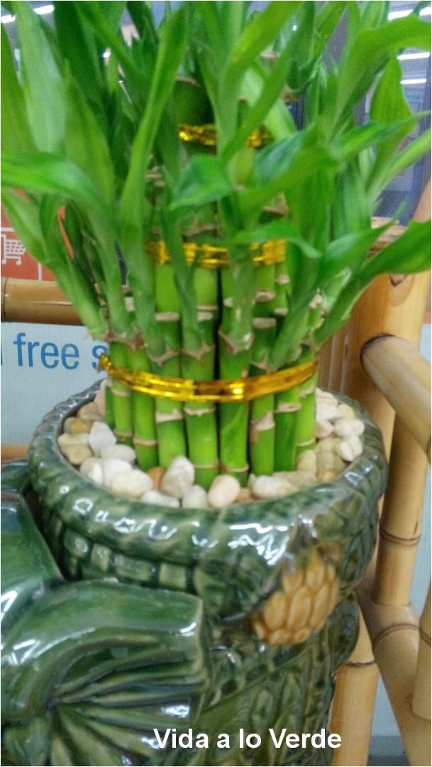 Doctora mar a fernanda mitos sobre el bamb de la suerte una planta para decorar y con bajo - Plantas de agua para interiores ...