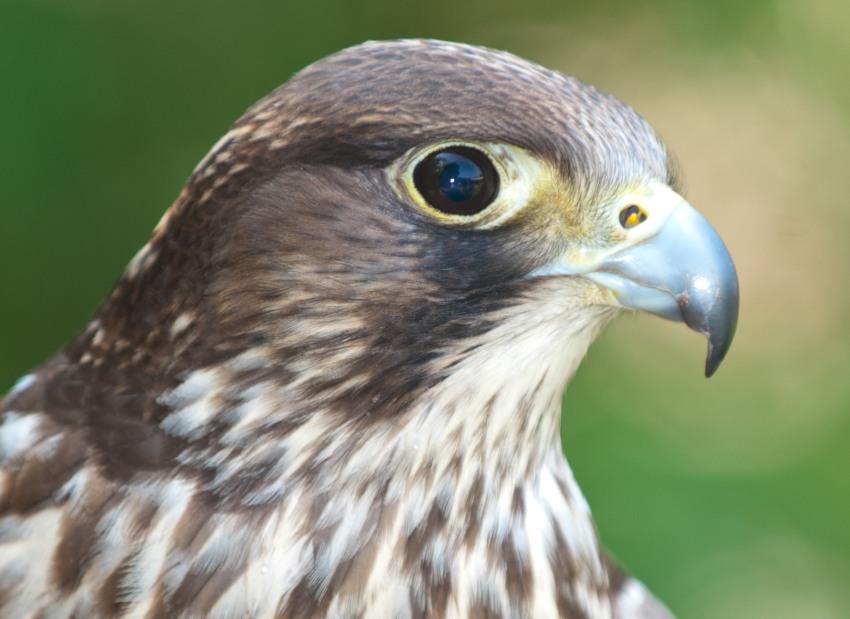 Falken in der Adlerwarte Berlebeck