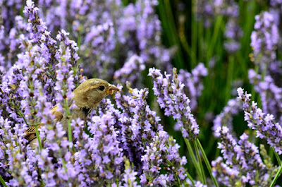 bird with lavender