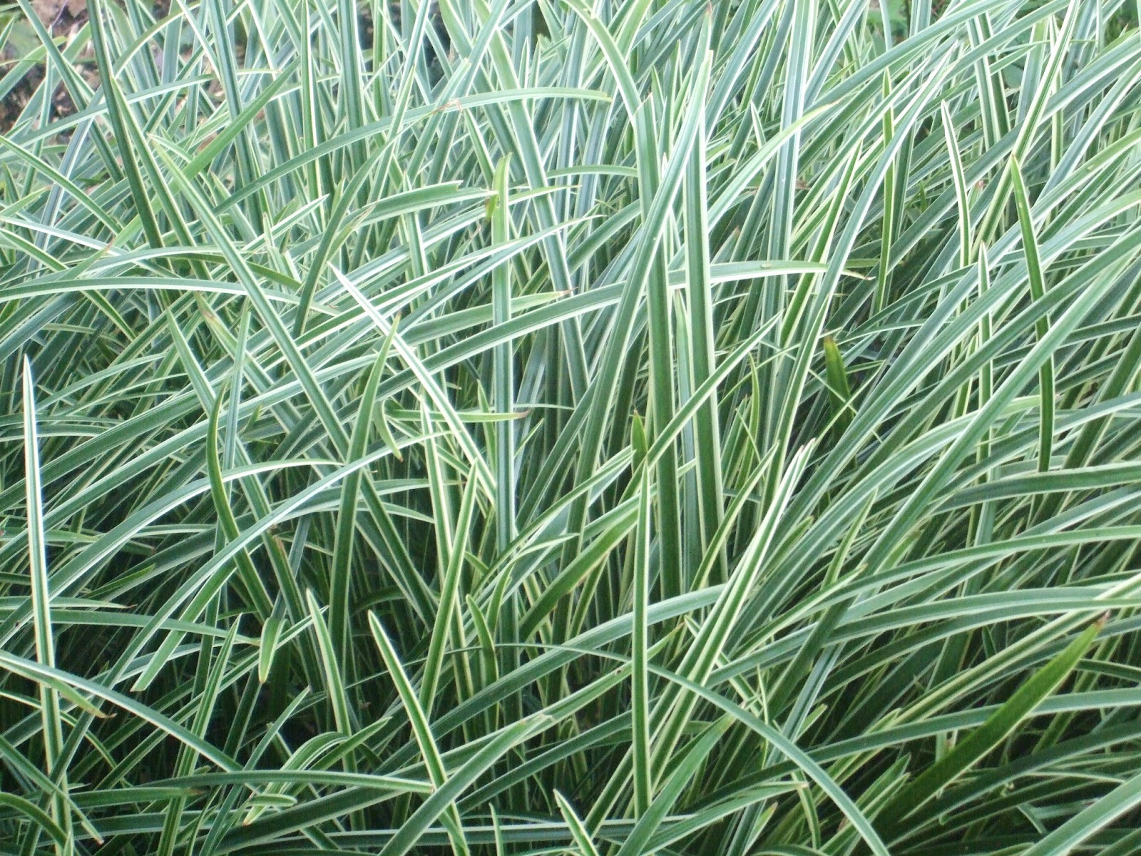 Colette charsley landscape design matrix planting for Ornamental grasses that grow in shade
