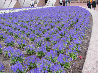 Purple Petunias at Epcot
