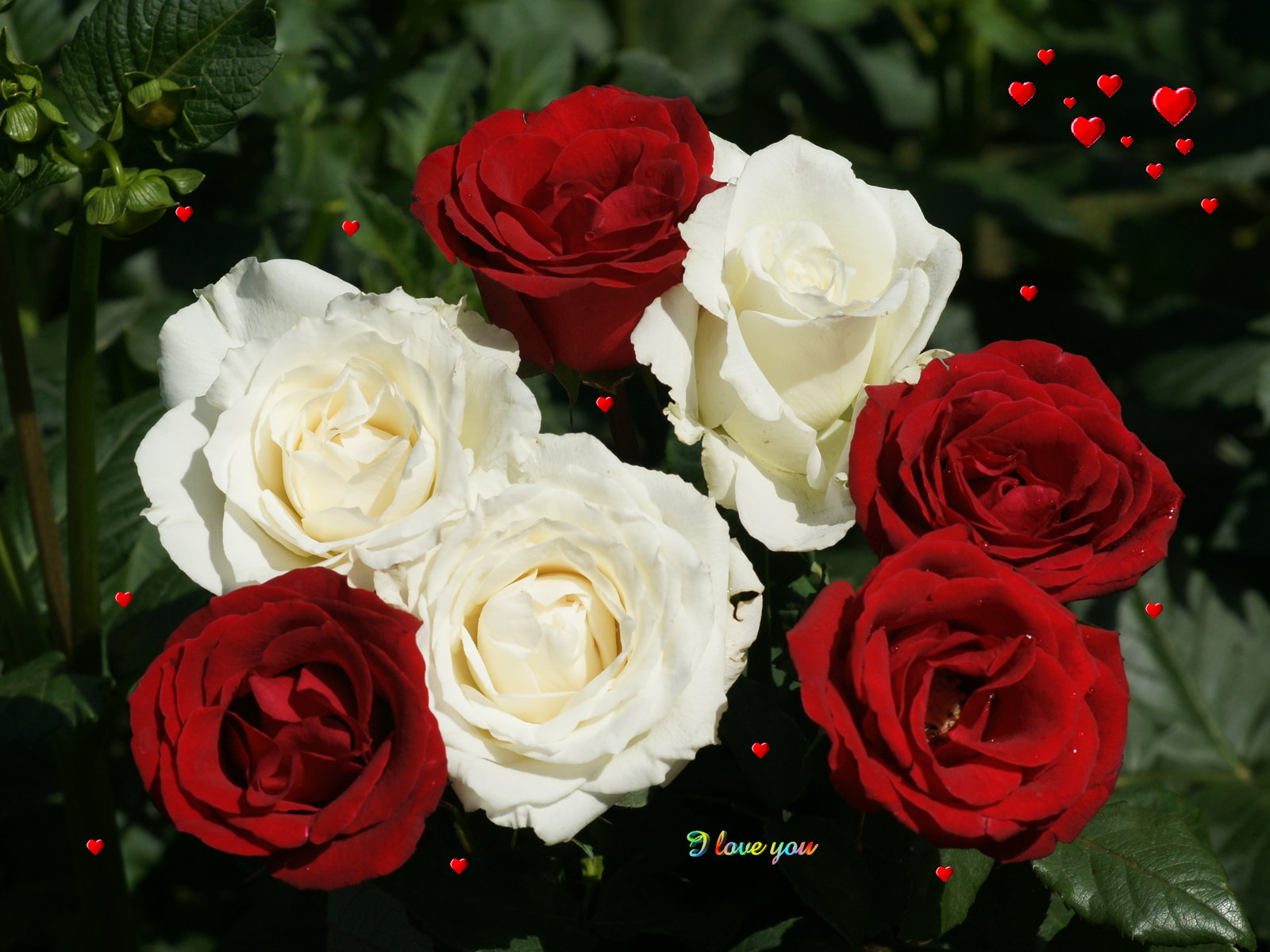 White And Red Rose Wallpaper