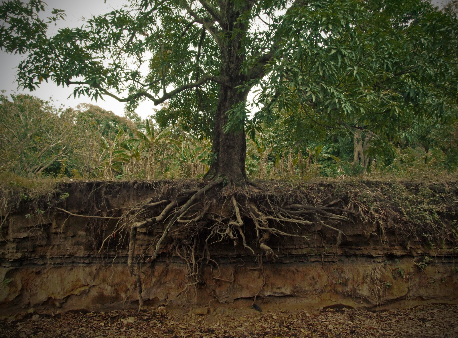 Le r seau racinaire des plantes et des arbres - Arbre a faible racine ...