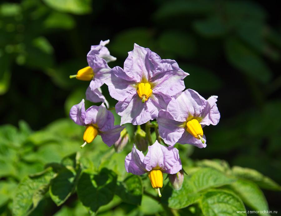Цветы картофеля | Potato flowers