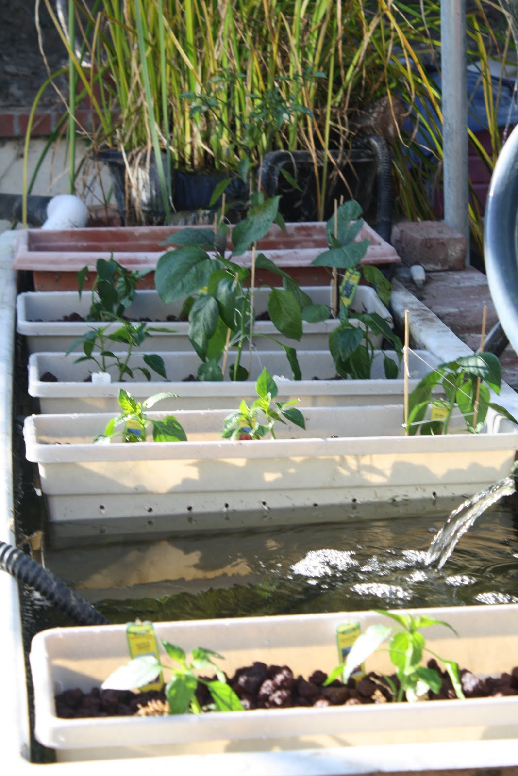 Sustainable living by josh ball aquaponic system for Koi pond aquaponics