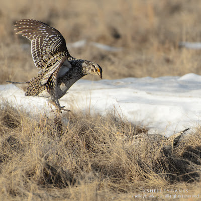Sharp-tailed Grouse. Photo copyright  © Shelley Banks, all rights reserved.