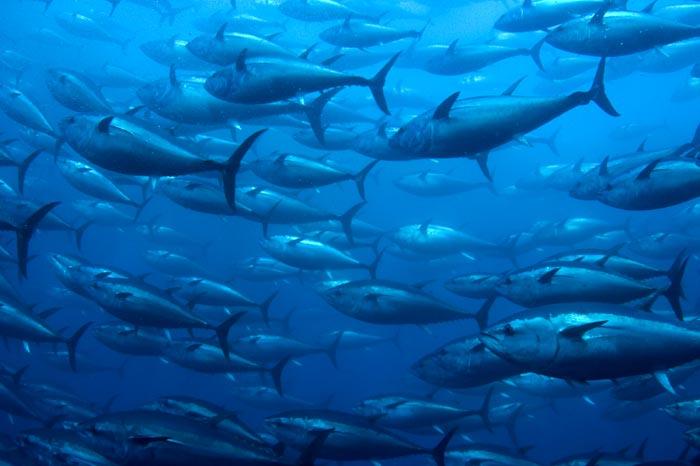 Bluefin tuna the life of animals for Bluefin tuna fishing