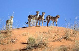 Foto Cheetah yang Ganas