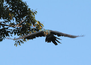 flying Hyacinth Macaws