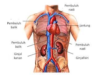 Organ Tubuh Ginjal