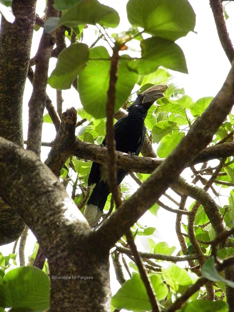 Silvery-cheeked Hornbill in Bahir Dar