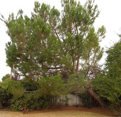 Leaning Pine Tree, © B. Radisavljevic