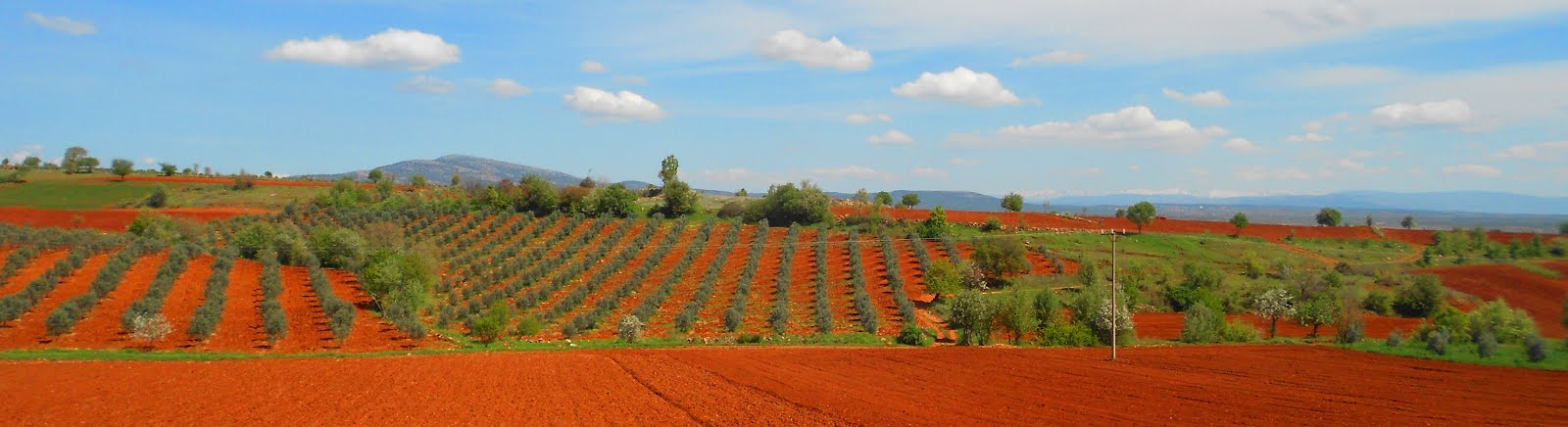 Olive fields by Noreen