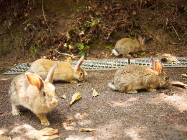 Okunoshima — Rabbit Island in Japan