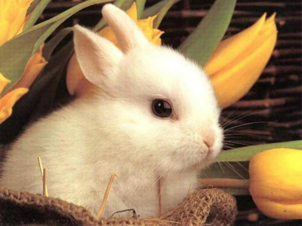 funny pictures of animals: cute rabbit wallpaper