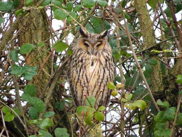 Long-eared Owl, Burton Mere RSPB, Cheshire