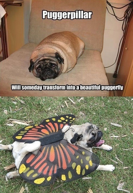 Then Puggerpillar And Now A Beautiful Puggerfly