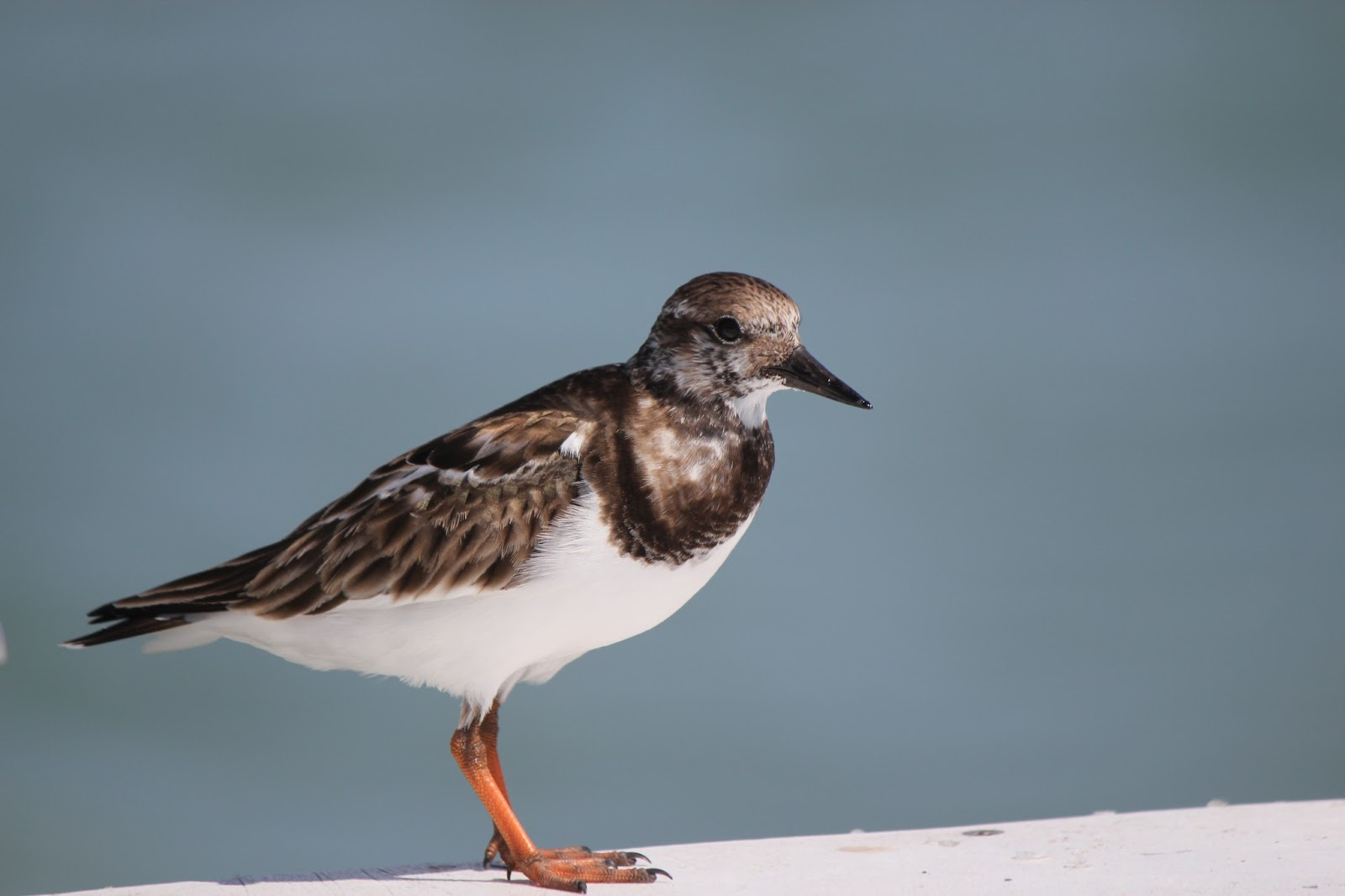 Pinellas county parks fort de soto park ruddy turnstone at fort de soto park pier nvjuhfo Images