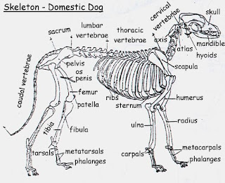 Wolf Anatomy | Anatomy Of The Body