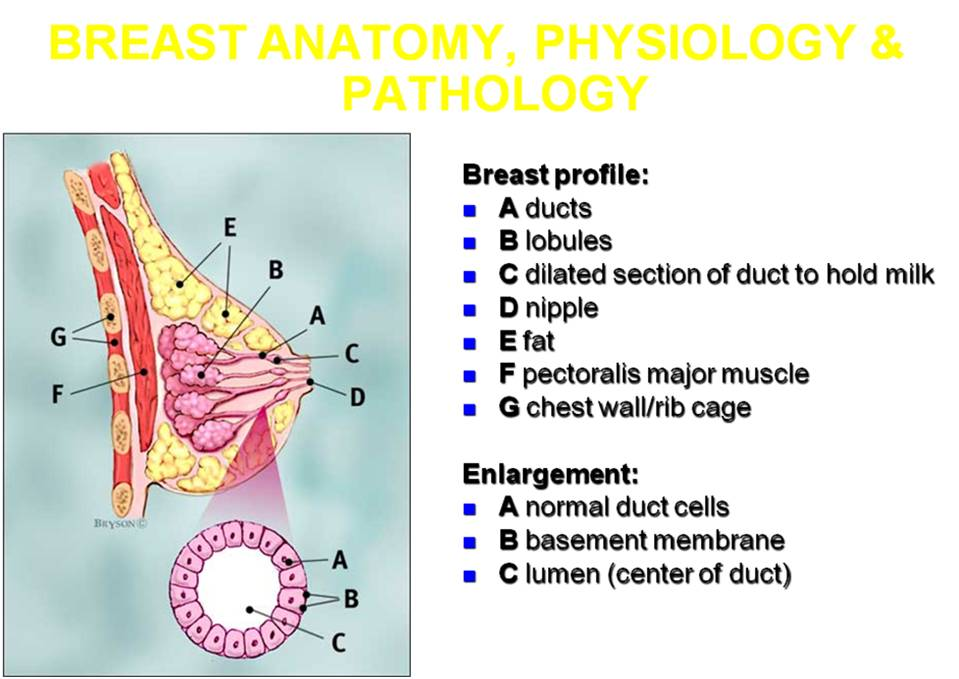 Live Your Love: Breast Anatomy