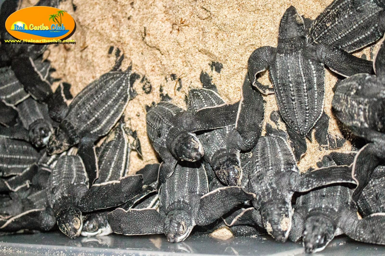 Italcaribe tartarughe di mare a isla de margarita for Tartarughe di mare domestiche
