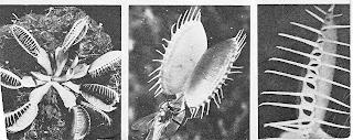 Gambar 18. Daun tumbuhan penangkap lalat menutup setelah lalat masuk