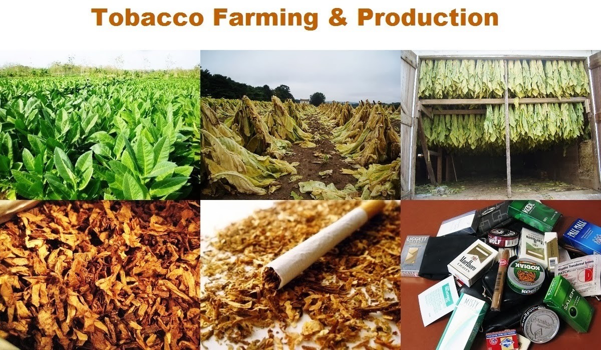the disadvantages of farming and smoking tobacco cigarettes Stop smoking essay  smoking and tobacco - cigarettes and addiction  advantages and disadvantages of no smoking in working places.
