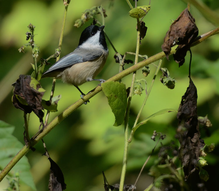 A Carolina Chickadee gleaning insects from brush along the Little Miami Trail (as summer slowly melts into fall).