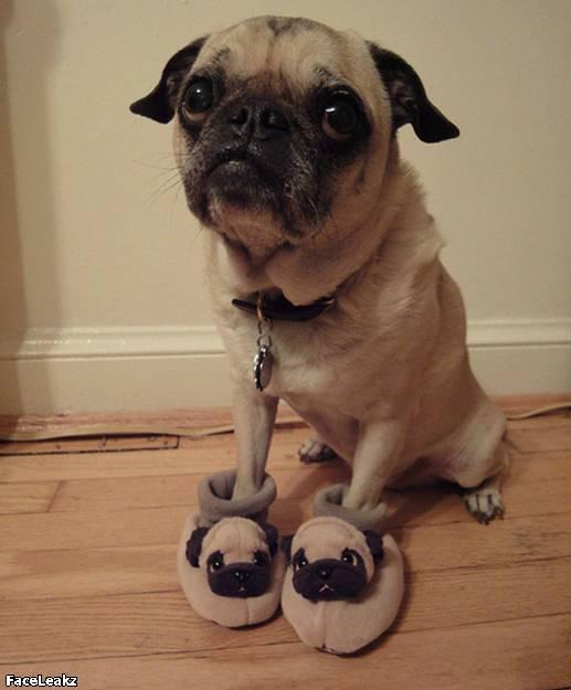 21 Foto Yang Harus Anda Lihat Setelah 21 Mei 2011 Berlalu - Anjing pesek memakai sandal mirip dirinya