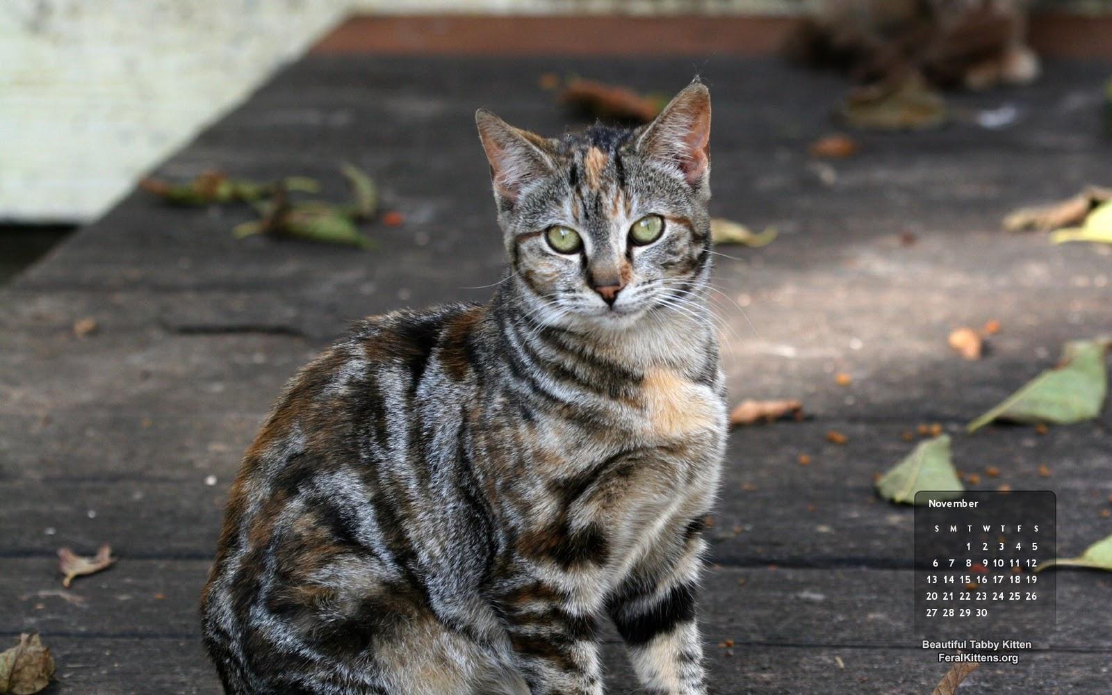 November Wallpaper Cat Beautiful Tabby Kitten