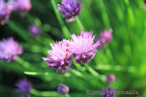 ruohosipuli eli ruoholaukka Allium schoenoprasum