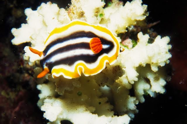 Chromodoris magnifica, Nudibranch