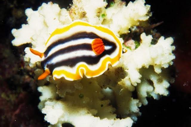 Chromodoris magnifica, Nudibranch
