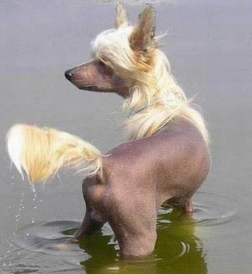 Cadela, cachorra, com pelos loiros, pele bronzeada e expondo a traseira.