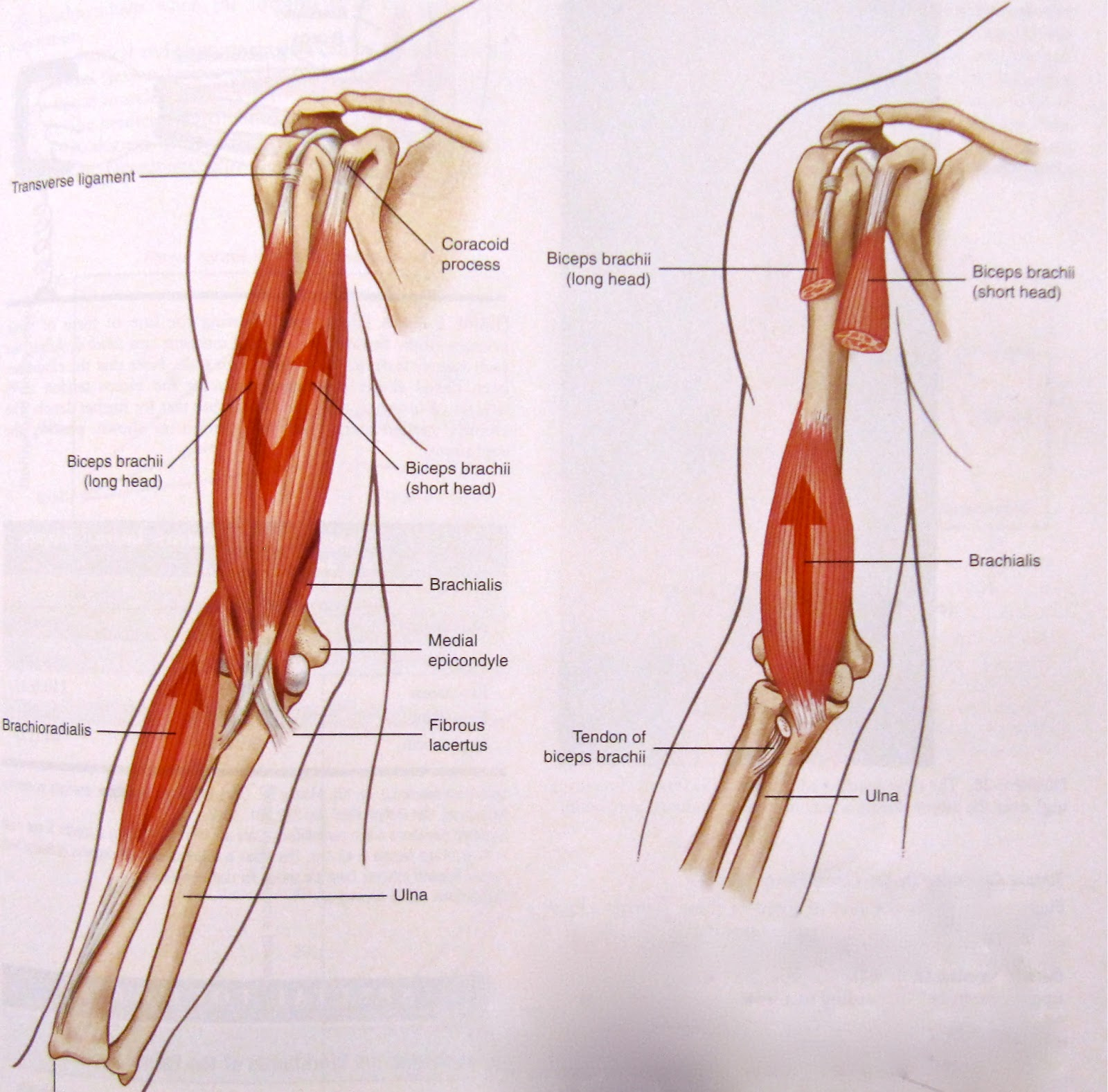 Bicep muscle anatomyTriceps And Biceps Diagram