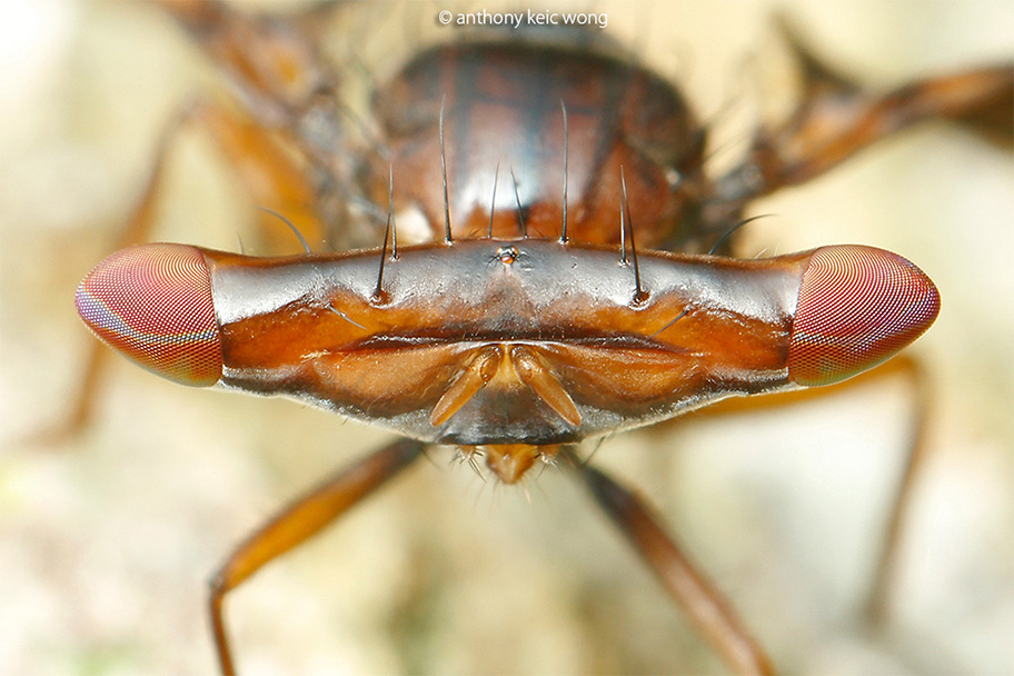 Themara maculipennis, head close up