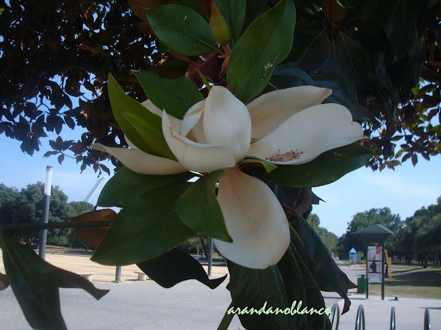 Parquealamillo encinarosa magnolia grandiflora magnolia for Vivero las magnolias