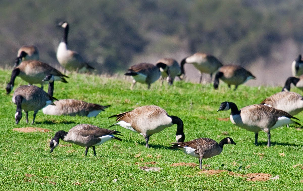 Taverner's Cackling and Moffitt's Canada geese