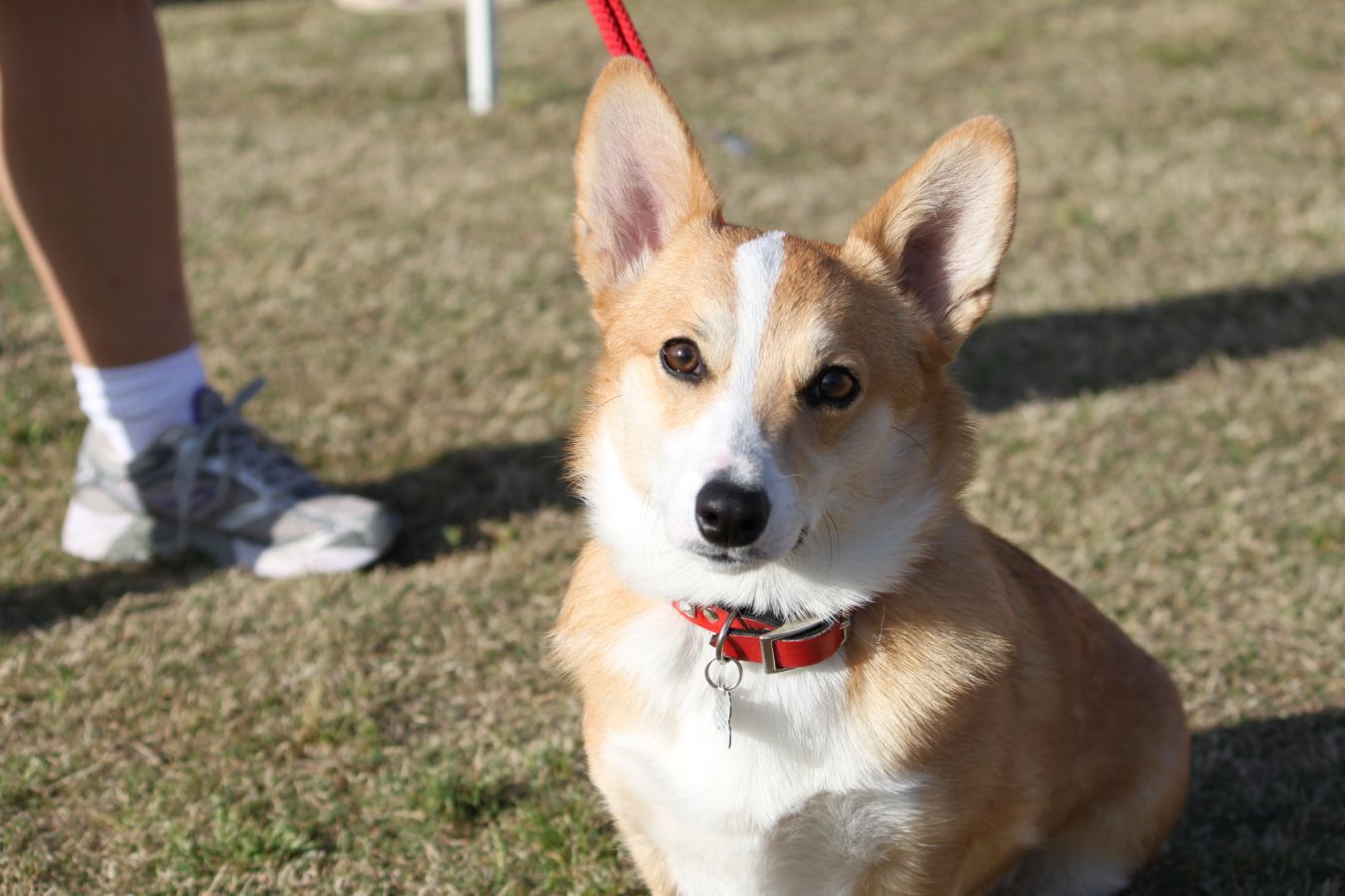 Displaying 17> Images For Teacup Corgi Pictures