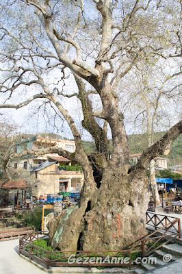1000 - 1200 yıllık olan Hıdırbey köyündeki Musa ağacı, Samandağ Hatay